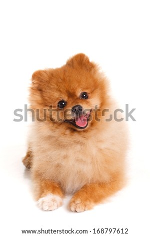 Portrait of sitting pomeranian spitz dog isolated on white background. Studio - stock photo
