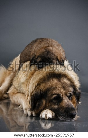 Portrait of sleeping sweet 1,5 month old kavkazskaya ovcharka with mother  ( Caucasian shepherd dog puppy ) - stock photo