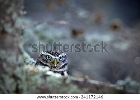 Portrait of small Boreal owl in the autumn larch forest in central Europe - stock photo