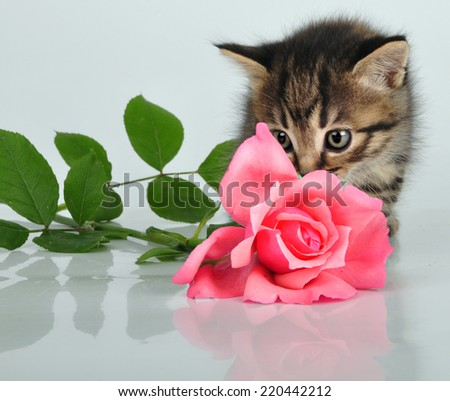 Portrait of small kitten playing with a pink rose. Isolated on white background - stock photo