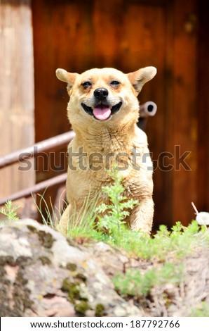 portrait of smiling dog  - stock photo