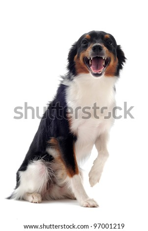 portrait of smiling dog in front of white background
