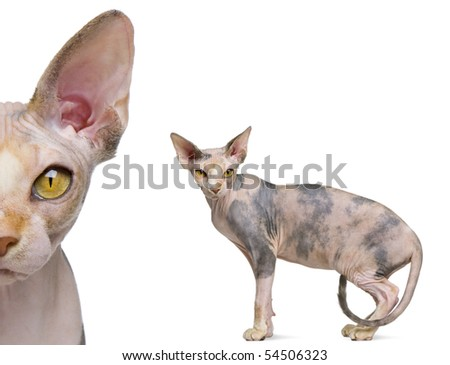 Portrait of Sphynx, 1 year old, in front of white background - stock photo