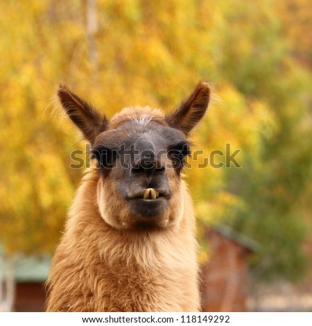 portrait of spitting llama over beautiful colored autumn background - stock photo