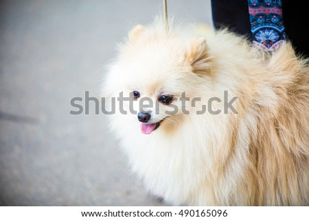 Portrait of spitz puppy at dog show
