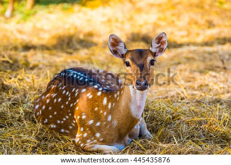 Portrait of Spotted Deer, Thailand - stock photo