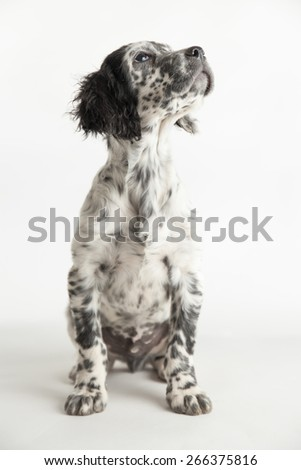 Portrait of spotted puppy dog setter in sitting position, that looking up. White background - stock photo