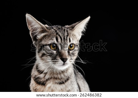 Portrait of stripped kitten on black background - stock photo