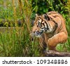 Portrait of Sumatran Tiger Panthera Tigris Sumatrae big cat in captivity - stock photo