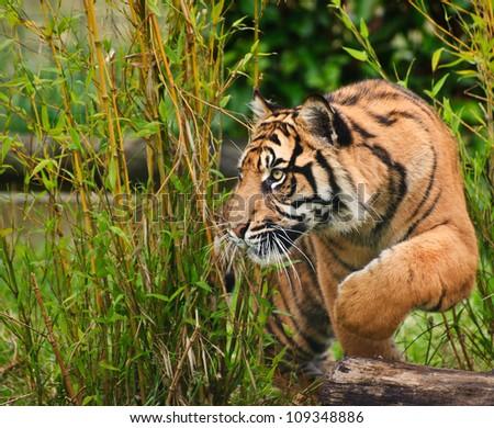 Portrait of Sumatran Tiger Panthera Tigris Sumatrae big cat in captivity - stock photo