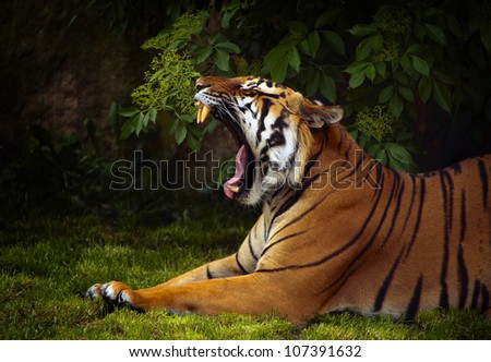 Portrait of Sumatran tiger (Panthera tigris sumatrae) resting - stock photo