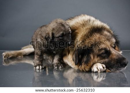 Portrait of sweet 1,5 month old kavkazskaya ovcharka with mother  ( Caucasian shepherd dog puppy ) - stock photo