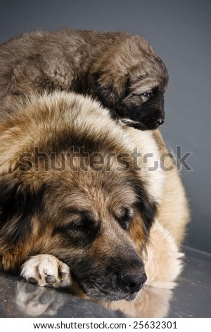 Portrait of sweet sleeping 1,5 month old kavkazskaya ovcharka with mother  ( Caucasian shepherd dog puppy ) - stock photo