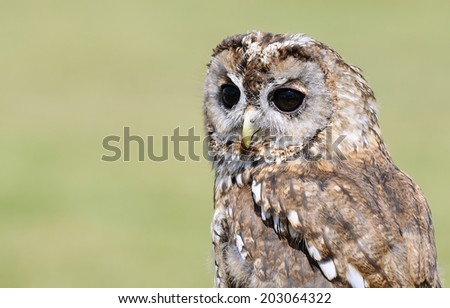 Portrait of Tawny owl (strix aluco) on green background. - stock photo
