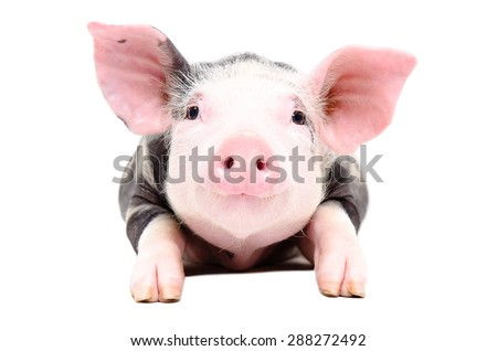 Portrait of the adorable little pig isolated on white background - stock photo