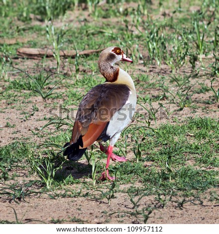 Portrait of the African goose which is on the grass in the Lake Manyara National Park - Tanzania - stock photo