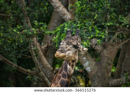 Portrait of the big male giraffe.