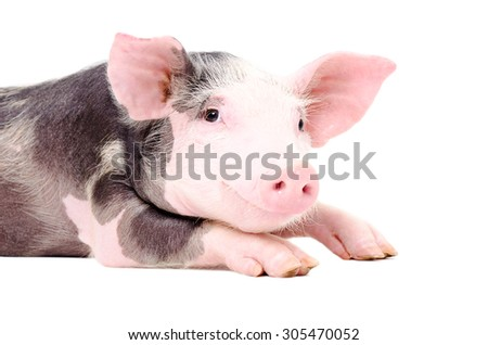 Portrait of the cute little pig isolated on white background - stock photo