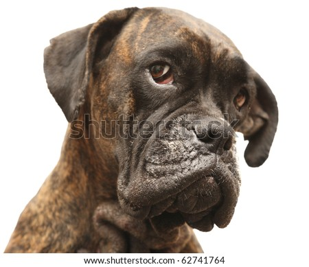 Portrait of the dog of the sort boxer - stock photo