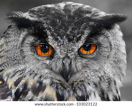Portrait of The Eurasian Eagle Owl (Bubo bubo). - stock photo