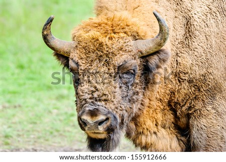 Portrait of the European bison (Bison bonasus), also known as wisent or the European wood bison. - stock photo