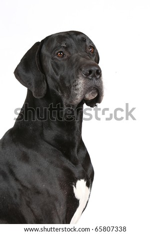 portrait of the Great Dane isolated on white - stock photo