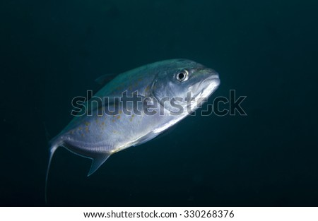 Portrait of the head of a large Gold-spotted Trevally  (Carangoides fulvoguttatus) tropical fish against a black background in the Musandam area of Oman.