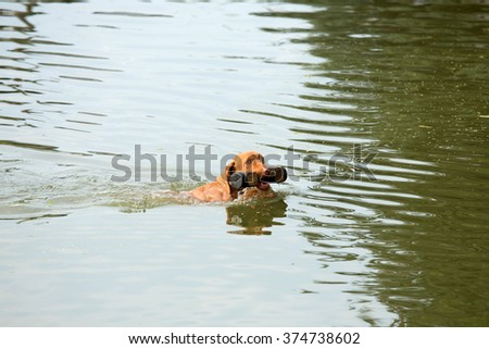 Portrait of the Hungarian hound while swimming in the water - stock photo