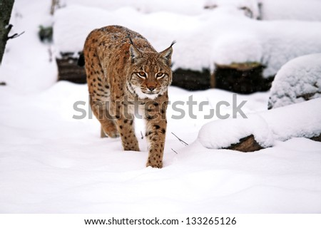 Portrait of the Lynx in winter - stock photo