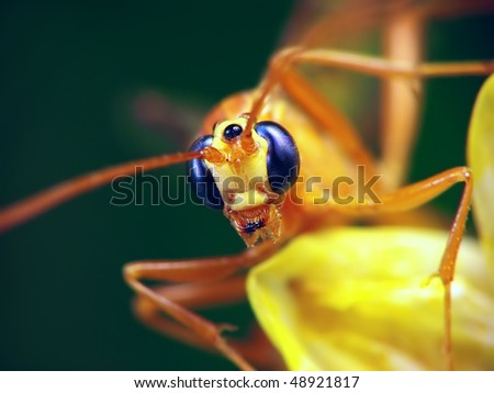Portrait of the Ophion (Family Ichneumonidae) sitting on the yellow aster.