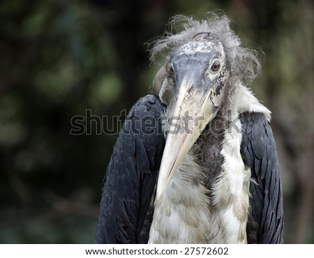 Portrait of the peculiar looking Marabou bird - stock photo