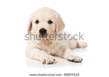 Portrait of the puppy golden retriever on a white background