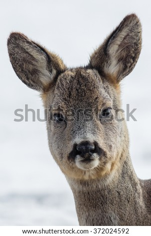 Portrait of the roe deer (Capreolus capreolus). - stock photo