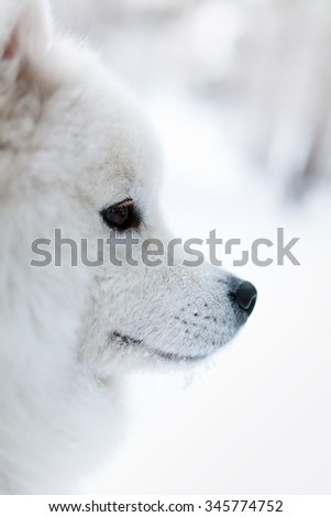 Portrait of the samoed dog in the winter