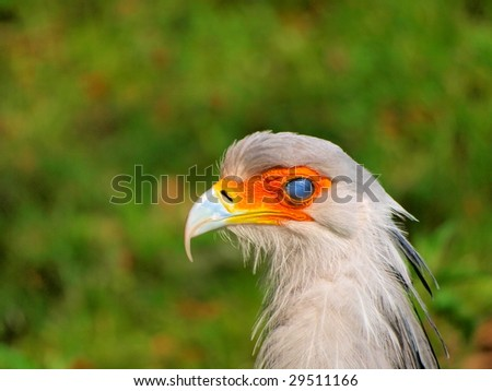 portrait of the secretary bird with an eye nubecula