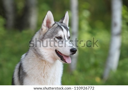 Portrait of the siberian husky puppy - stock photo