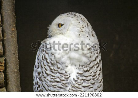 Portrait of the snowy owl close-up - stock photo
