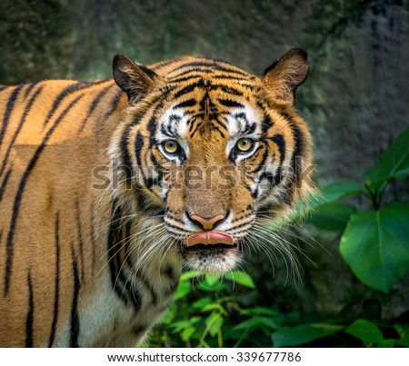 Portrait of the tiger. - stock photo
