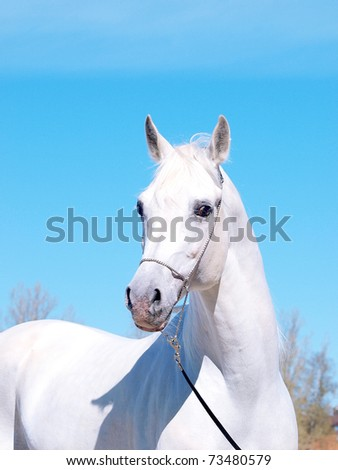 portrait of the white arabian horse