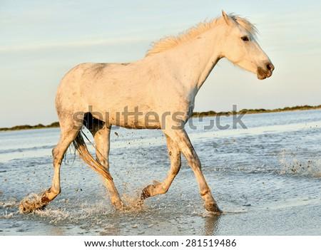 Portrait of the White Camargue Horse in Parc Regional de Camargue - Provence, France, - stock photo