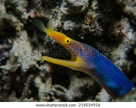 Portrait of the yellow-blue ribbon eel, Blue Ribbon Eel (Rhinomuraena quaesita) inside its lair. Macro shot. Togeans, Indonesia. - stock photo