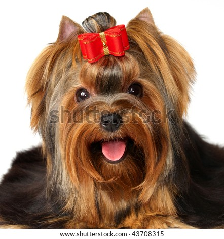 Portrait of the Yorkshire Terrier
