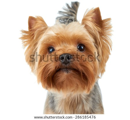 Portrait of the Yorkshire Terrier with shiny nose over white                               - stock photo