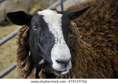 Portrait of the Zwartbles sheep, a breed of domestic sheep from Friesland Netherlands