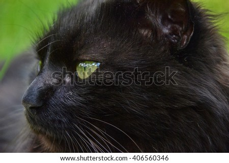 Portrait of thick long hair black Chantilly Tiffany cat relaxing in the garden. Close up of fat tomcat with stunning big green eyes sitting at home. Tom cat lying in garden - stock photo