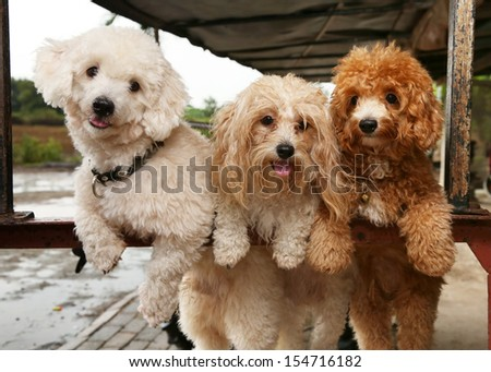 Portrait of three cute poodle dogs on nature background - stock photo