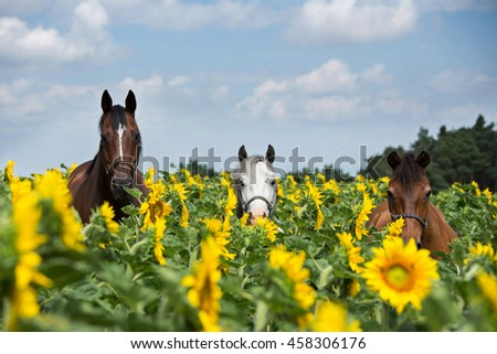 Portrait of three horses in a field of sunflowers - stock photo