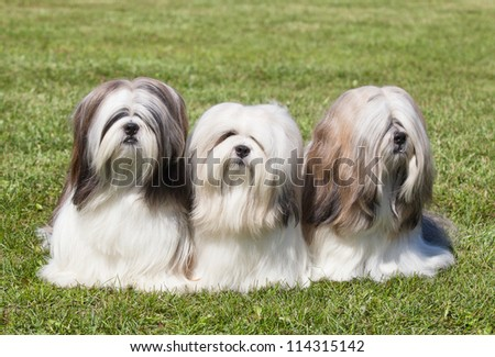 Portrait of three purebred Lhasa Apso  on green grass - stock photo