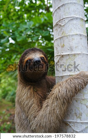 Portrait of three-toed sloth climbs on a tree, Panama, Central America - stock photo