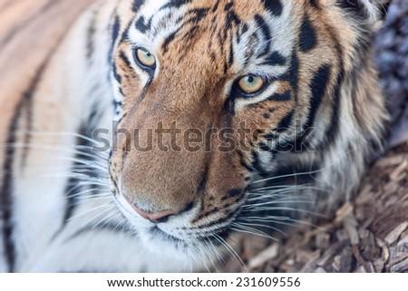 portrait  of tiger head close-up - stock photo